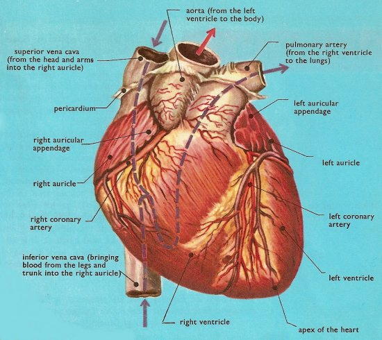 Fhs bio wiki circulatory system and blood for Exterior of heart diagram
