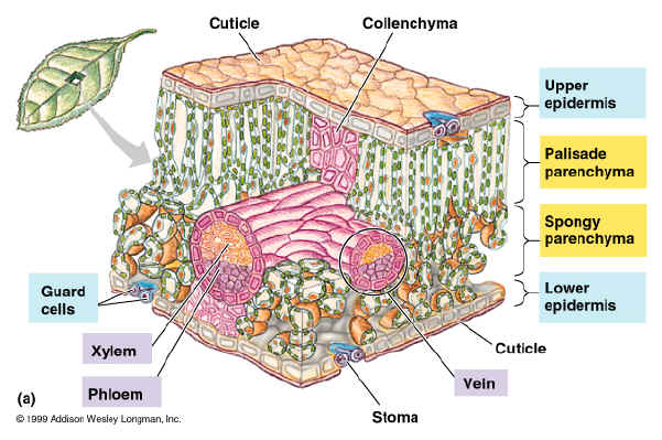 Leaf Cell Diagram http://fhs-bio-wiki.pbworks.com/w/page/12145794/Photosynthesis%20-%20leaf%20%20and%20pigments