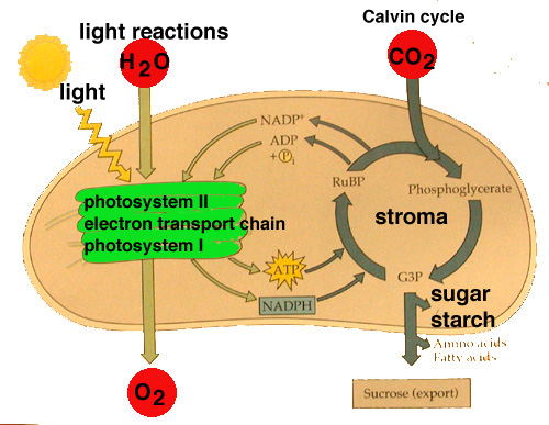 Limiting Factors Of Photosynthesis. Stages of Photosynthesis: